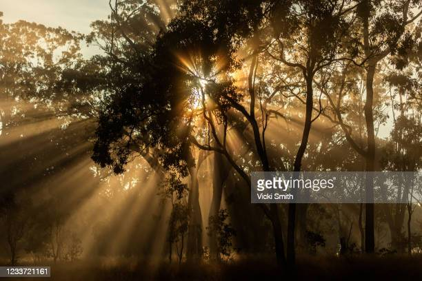 golden sunbeam shining through dark silhouetted trees at sunrise - tamworth australia stock pictures, royalty-free photos & images