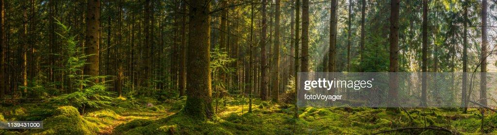 Golden sunbeams illuminating idyllic mossy forest glade wilderness woodland panorama : Foto stock