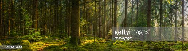 golden sunbeams illuminating idyllic mossy forest glade wilderness woodland panorama - panoramic stock pictures, royalty-free photos & images