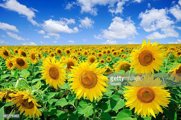 Golden sunflowers, el cielo azul y nubes blancas