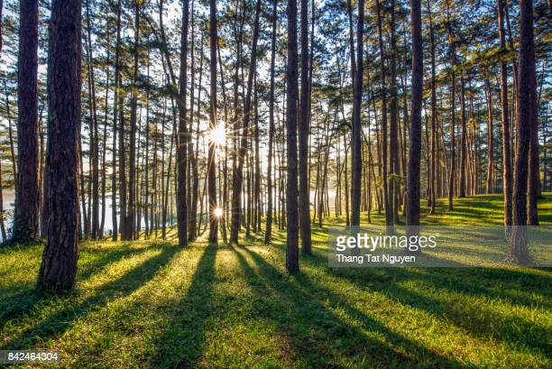 Golden sunlight in pine forest