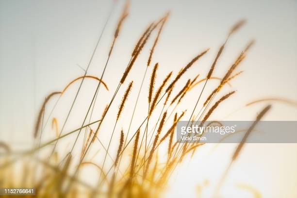 golden sunrise through reeds of long grass - high key stock pictures, royalty-free photos & images