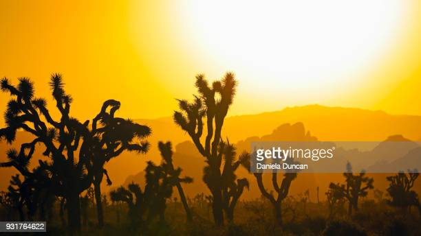golden sunset at joshua tree - joshua tree stock photos and pictures