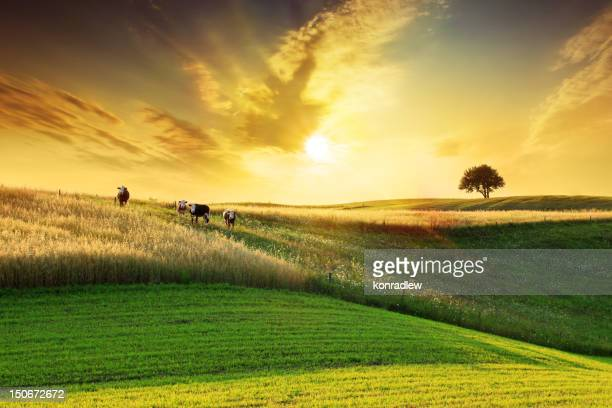 golden sunset over idyllic farmland landscape - livestock stock pictures, royalty-free photos & images