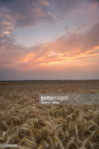 golden sunset - weizen stock pictures, royalty-free photos & images