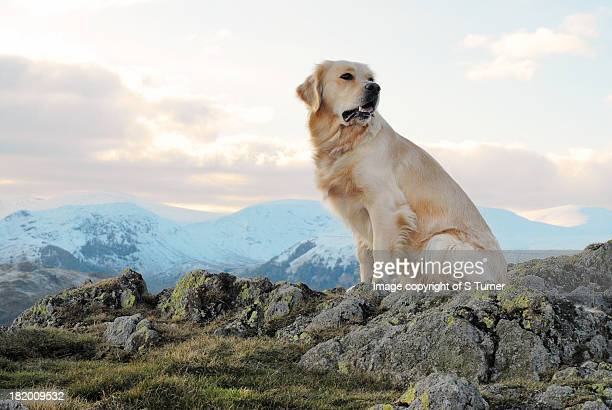 golden sunset - golden retriever stock pictures, royalty-free photos & images