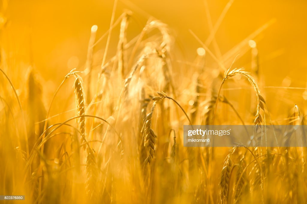 Golden Sunset reflection, Sun Shining Over barley : Stock Photo