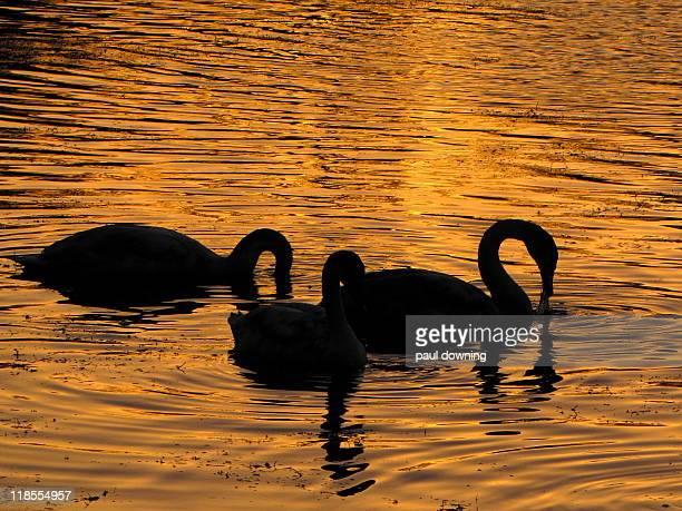 Golden swanage.