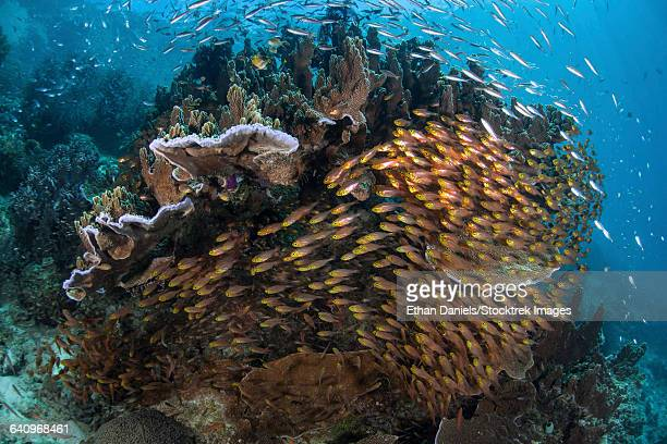 Golden sweepers swim under a coral bommie in Raja Ampat, Indonesia.