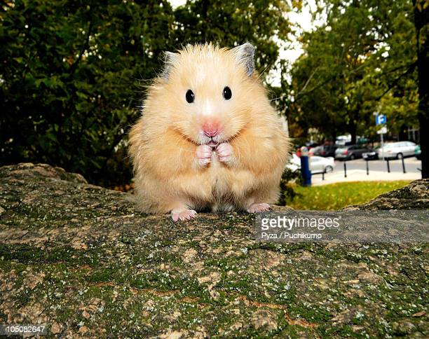 Golden syrian hamster sitting on a tree