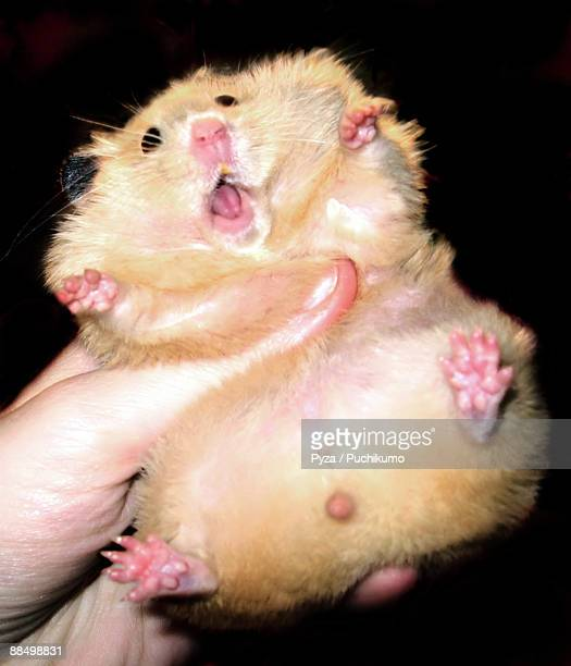 golden syrian hamster with open mouth - golden hamster stock pictures, royalty-free photos & images