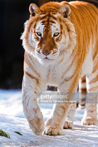 Golden tiger walking in the snow
