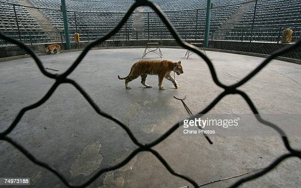 A golden tiger walks in a cage at the Chongqing Safari Park July 1 2007 in Chongqing Municipality China The park is home to 30000 animals in 430...