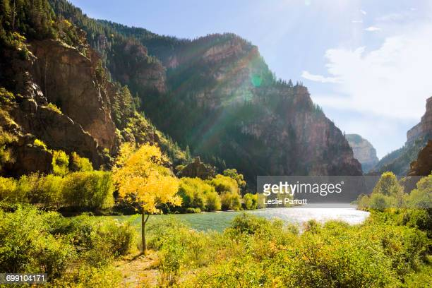 golden tree next to the colorado river - colorado river stock pictures, royalty-free photos & images