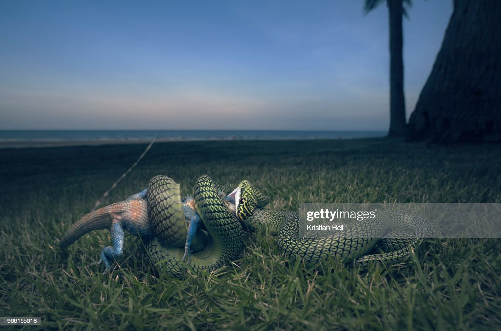Golden Tree Snake Prey Stock Photo - Getty Images