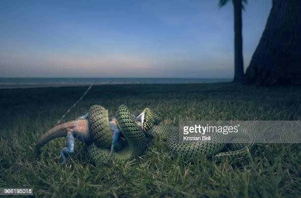 golden tree snake (chrysopelea ornata) subduing forest lizard (calotes mystaceus) prey - asiatische wildkatze stock-fotos und bilder