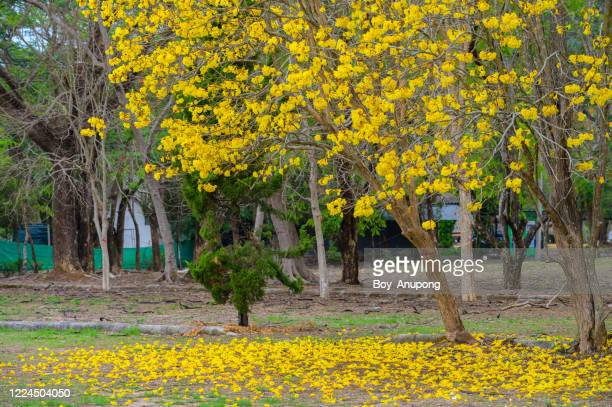 a golden trumpet tree (other name is handroanthus chrysotrichus) blooms in the garden and some leaves falling on the ground. - handroanthus stock pictures, royalty-free photos & images