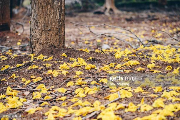 a golden trumpet tree (other name is handroanthus chrysotrichus) leaves falling on the ground. - handroanthus stock pictures, royalty-free photos & images