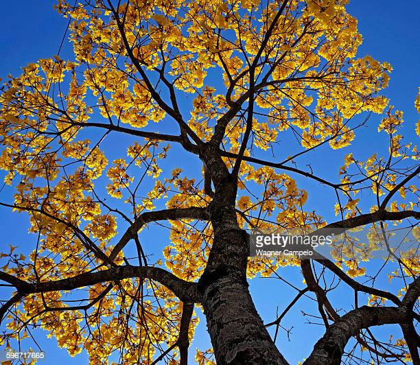 Golden trumpet tree, the national tree of Brazil