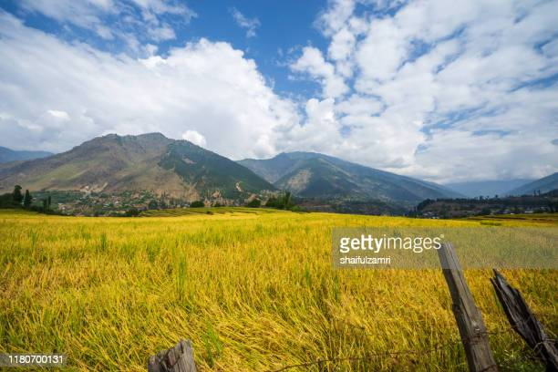 golden view of paddy fields at kangan valley of kashmir, india. - shaifulzamri stock pictures, royalty-free photos & images