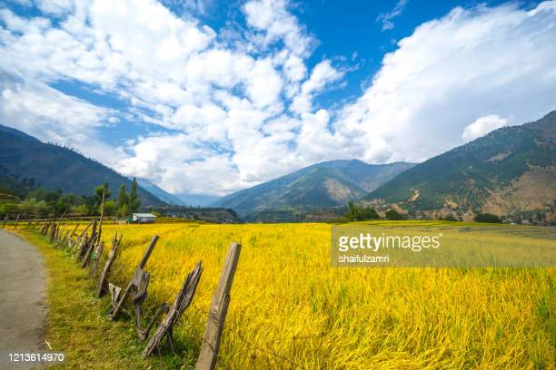 golden view of paddy fields at naranaq, kashmir, india. - kashmir valley stock pictures, royalty-free photos & images