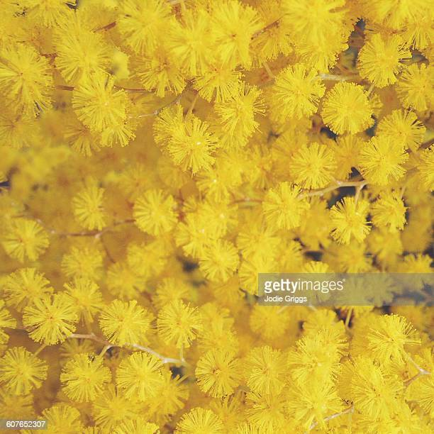 golden wattle flowers - acacia tree stock photos and pictures