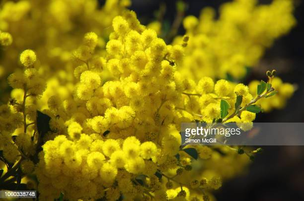 golden wattle tree in bloom - mimosa flower stock pictures, royalty-free photos & images