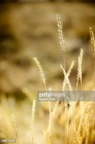 golden weeds - hope imagens e fotografias de stock
