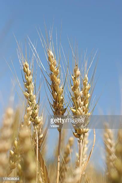 Champ de blé doré - 04