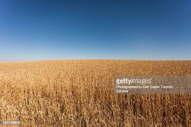golden wheat field and blue sky - saskatchewan stock pictures, royalty-free photos & images