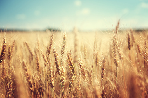 golden wheat field and sunny day 465910852