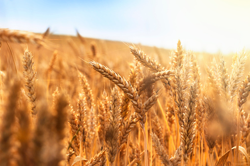 golden wheat field and sunny day 531184656
