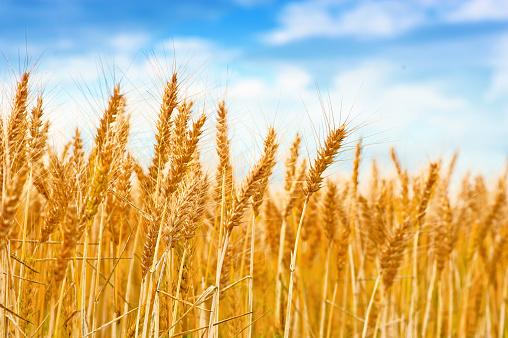 Golden wheat field in the blue sky 961695950