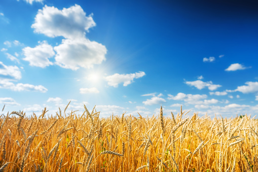 Golden wheat field over blue sky at sunny day. 1134425203