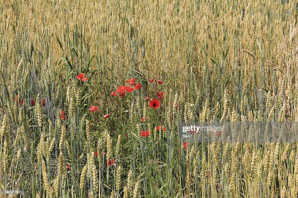 Golden wheat field : Stock Photo
