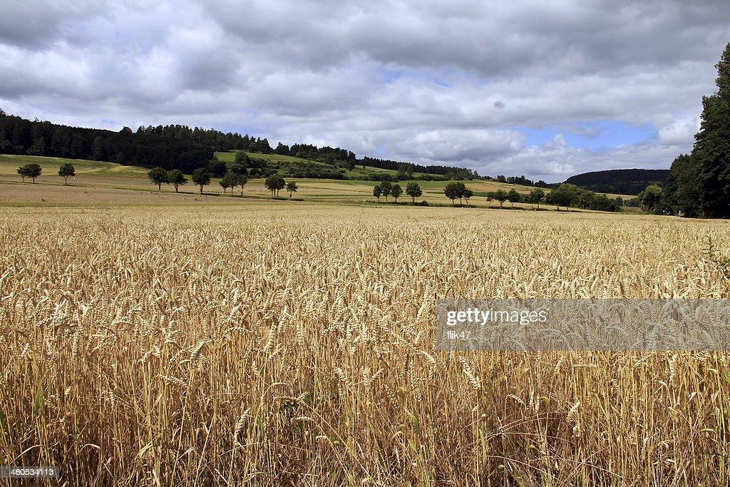 Golden wheat field : Stock-Foto