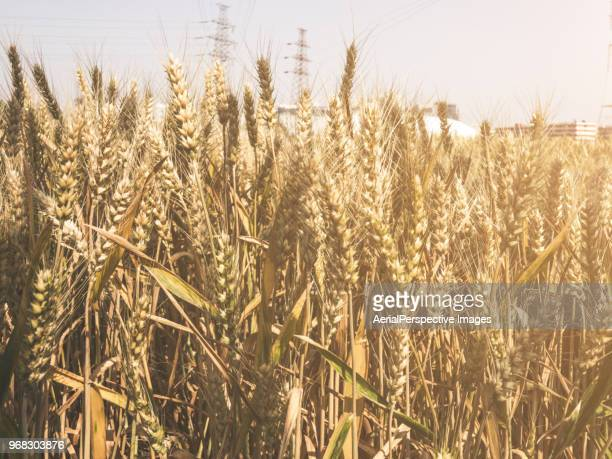 golden wheat field - rye stock photos and pictures