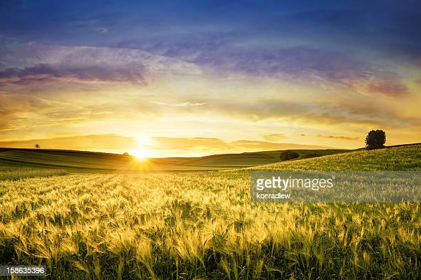 golden wheat field - sunset landscape - wheat stock pictures, royalty-free photos & images