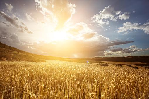 Golden wheat field under beautiful sunset sky 815712236