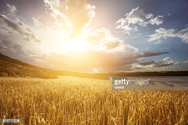 golden wheat field under beautiful sunset sky - campo foto e immagini stock