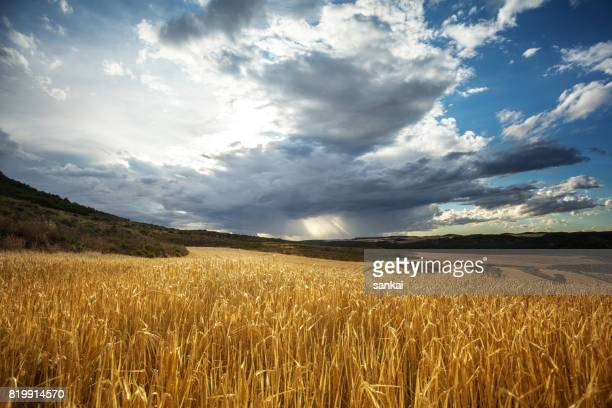 golden wheat field under beautiful sunset sky - rye grain stock pictures, royalty-free photos & images