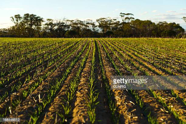 Golden Wheat Fields freshly seeded in the Wheatbelt Region