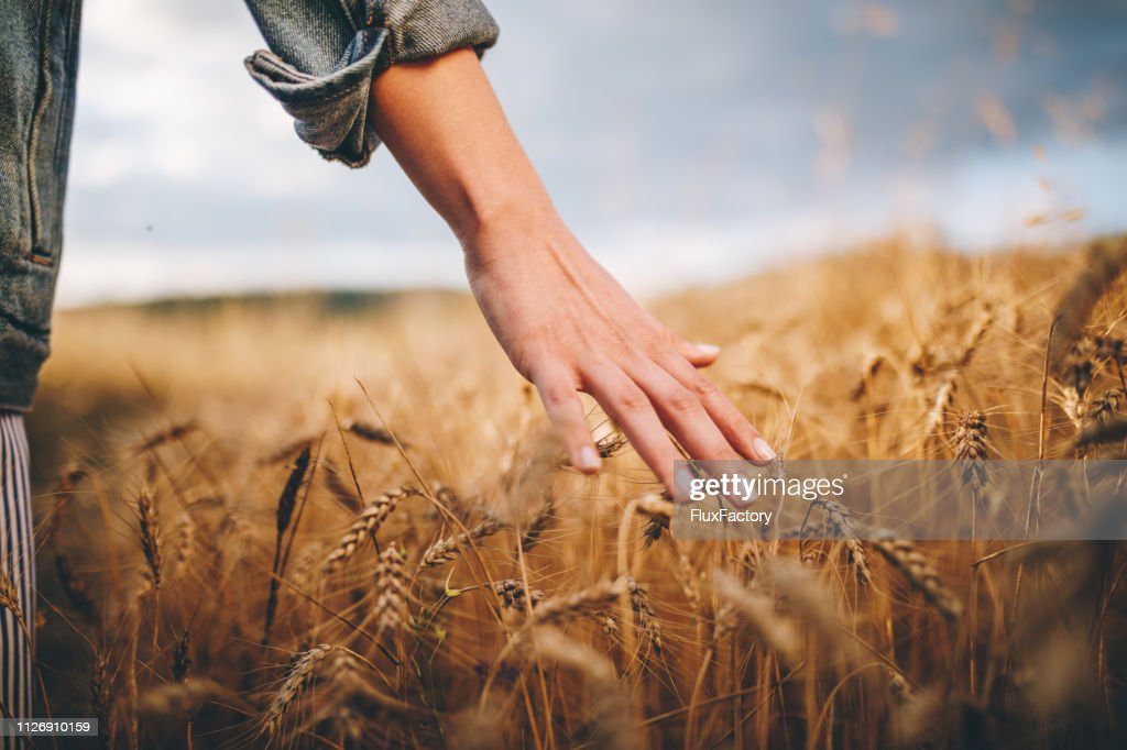 Golden wheat fields : Stock Photo