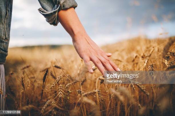 golden wheat fields - landscape scenery stock pictures, royalty-free photos & images