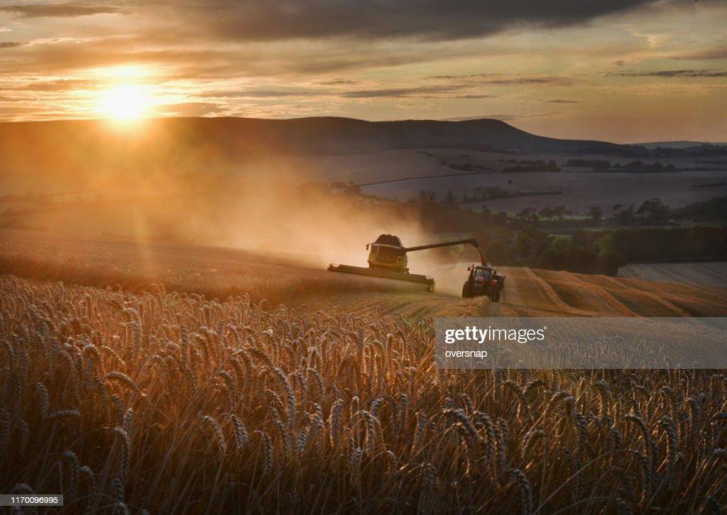 Gouden tarwe oogst : Stockfoto