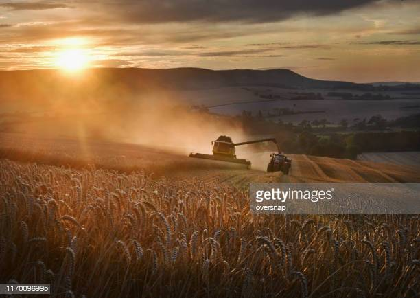 golden wheat harvest - agriculture stock pictures, royalty-free photos & images