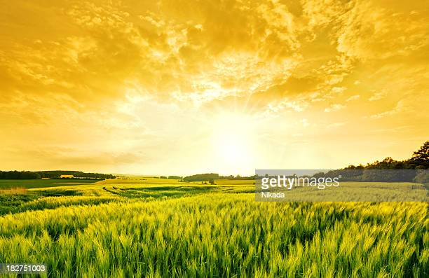 golden wheat landscape - moody sky stock pictures, royalty-free photos & images