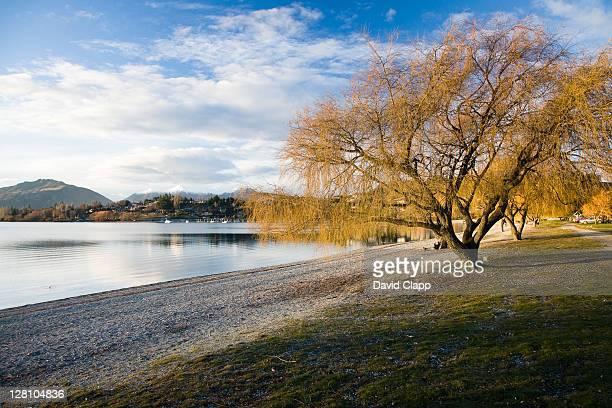 Golden willow (Salix alba) in evening light on bank of Lake Wanaka, South Island, New Zealand