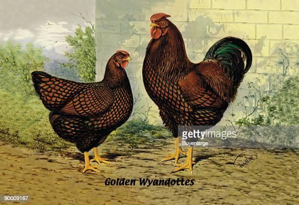 Golden Wyandottes