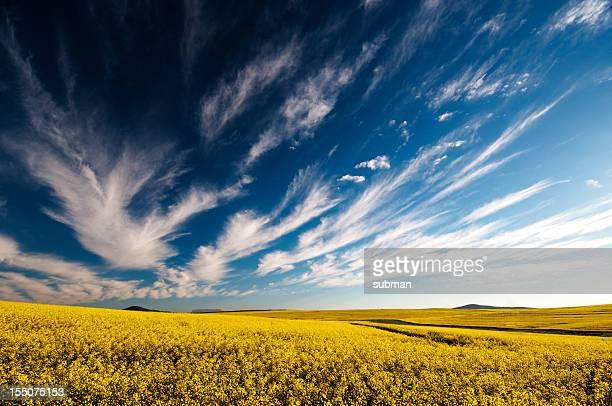 Golden yellow Canola fields